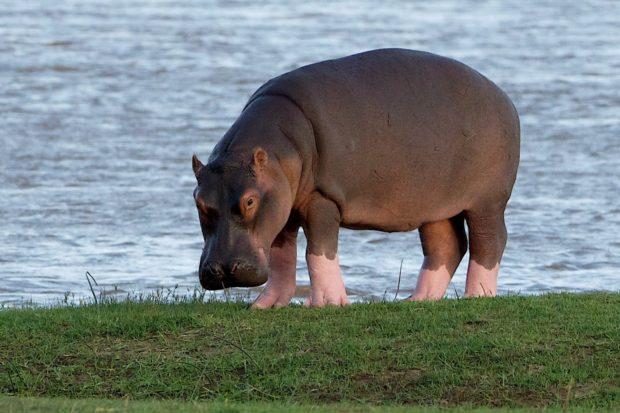 Hipopótamo-comum Físico