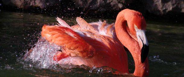 Flamingo-rubro