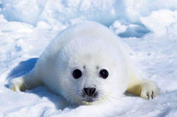 Foca-da-Groenlândia