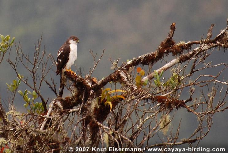 Accipiter Striatus Chionogaster