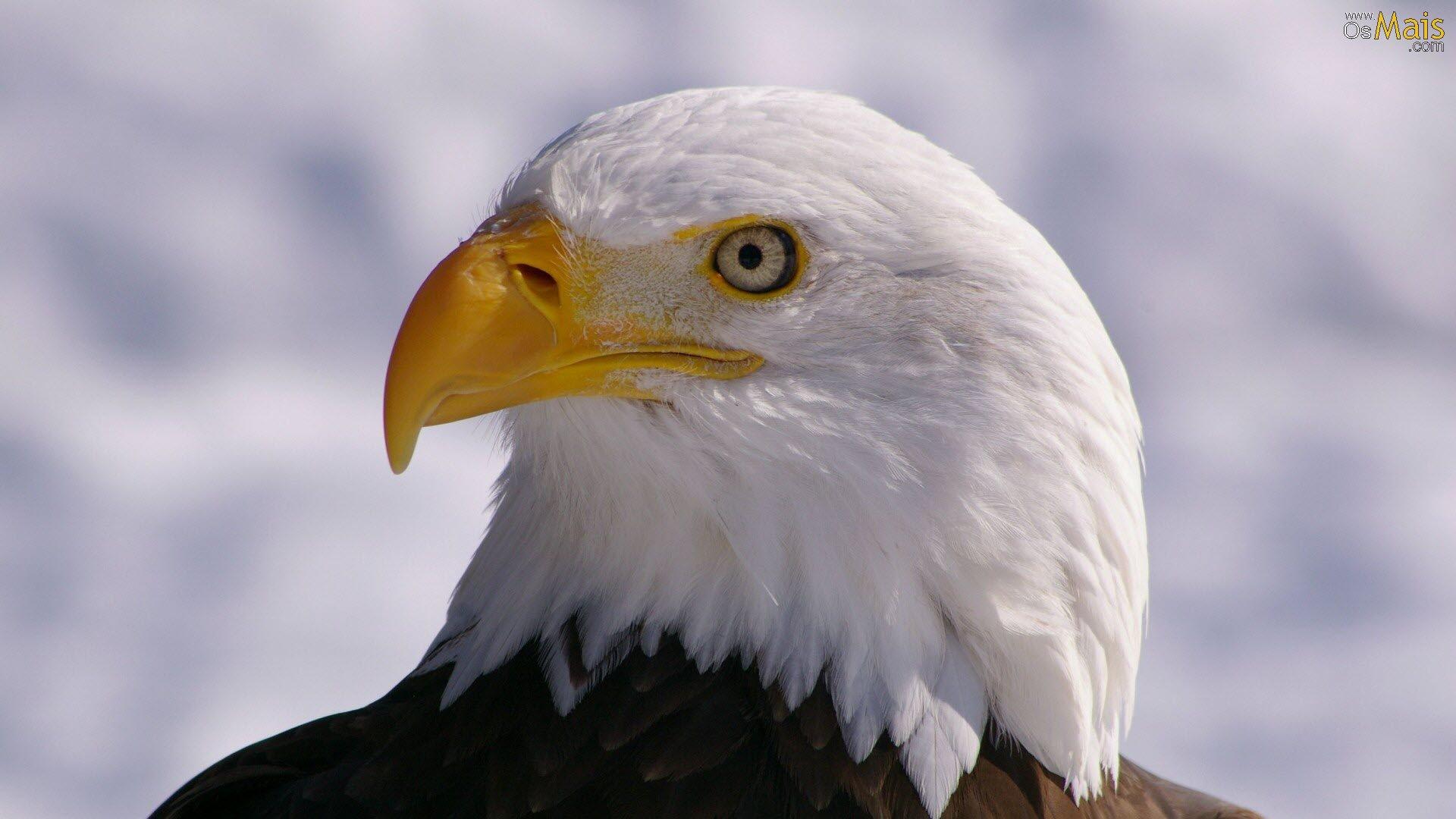 Família Accipitridae - Águia Careca