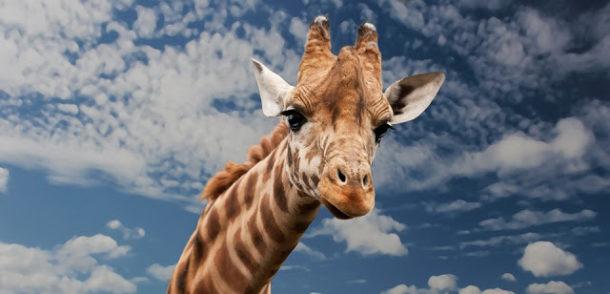 Curiosidades da Girafa