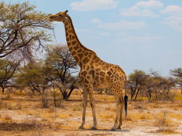Girafa-sul-africana