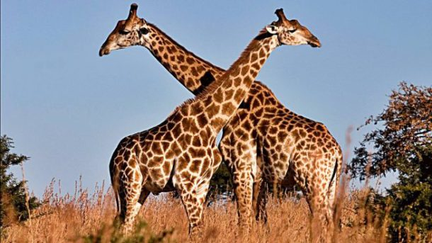 Girafas Apaixonadas