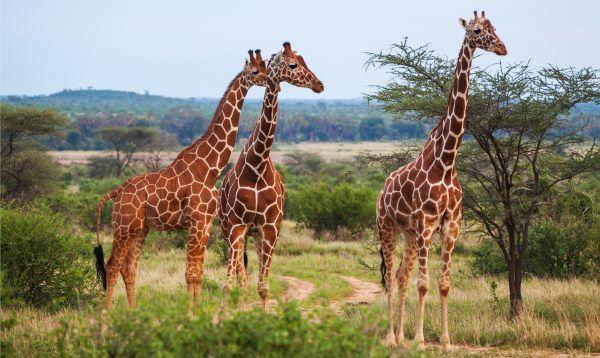 Tamanho da Girafa