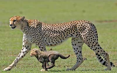 Guepardo Andando Lado a Lado com Seu Filhote