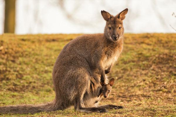 Canguru é um Animal da Espécie Marsupiais