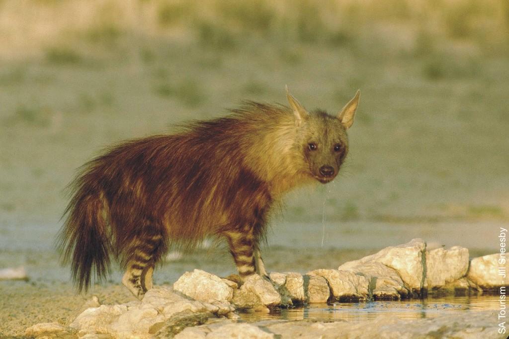 Hiena Castanha Tomando Água