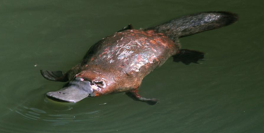 Ornitorrinco é um Exemplo de  Monotremados