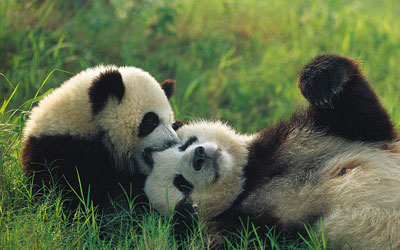 Panda-Gigante Brincando na Grama