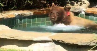 Urso Invade Casa e Toma Banho em Piscina