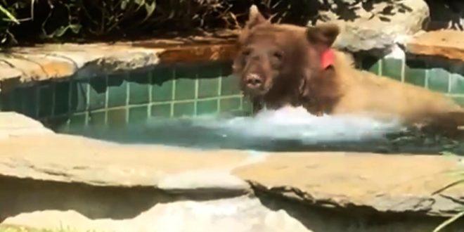 Urso Invade Casa e Toma Banho em Piscina Aquecida