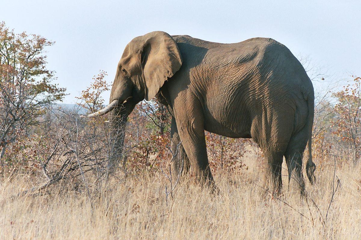o Elefante é um Animal do Tipo Placentário