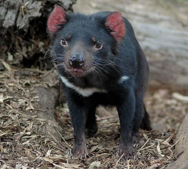 Diabo-da-Tasmânia Fotografado de Frente