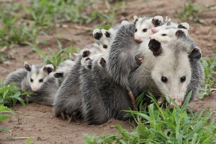 Gambá-da-Virgínia Com Seus Filhotes