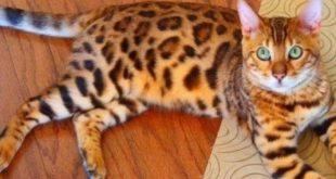 Gato-de-Bengala Dentro de Casa