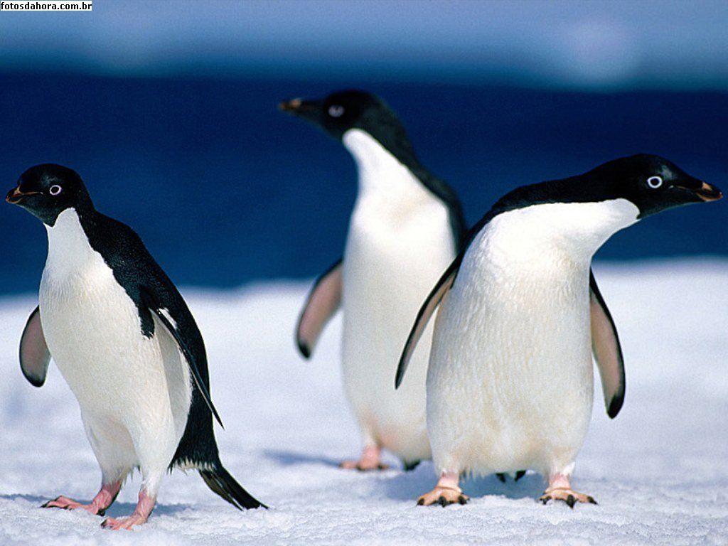 Família de Pinguim de Adélia