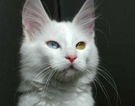 Gato Angorá Turco Com Cor de Olhos Diferentes