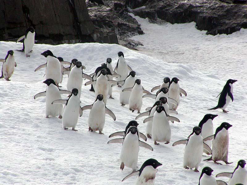 Grupo de Pinguim de Adélia se Deslocando Juntos