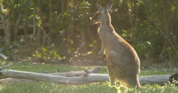 Marsupial - Canguru