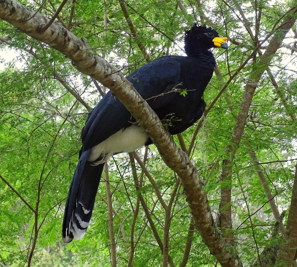 Mutum de Bico Amarelo Sentado na Árvore