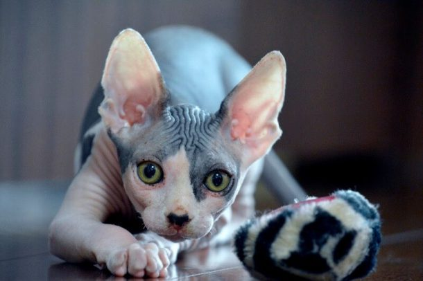 Características do Gato Pelado