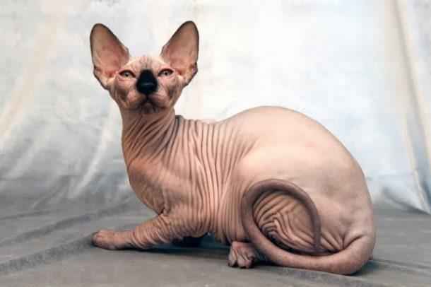 Exótico Gato sem Pêlos