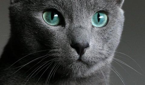 Gato Azul Russo Fotografado de Frente