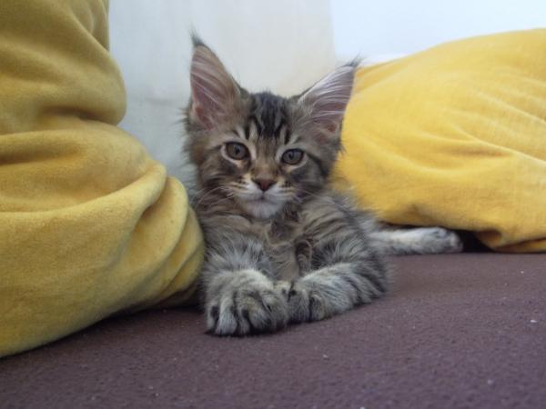 Gato Bobtail Americano Deitado no Chão
