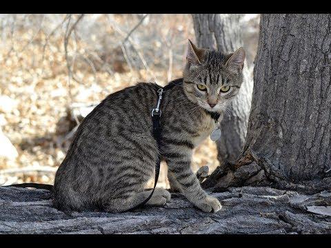 Gato Bobtail Americano Em Cima da Árvore