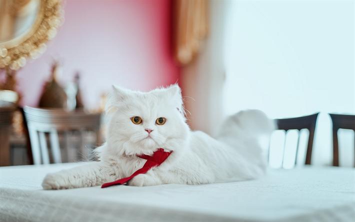 Gato Persa Branco e Puro