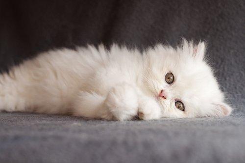 Gato Persa Branco Deitado de Lado no Sofá