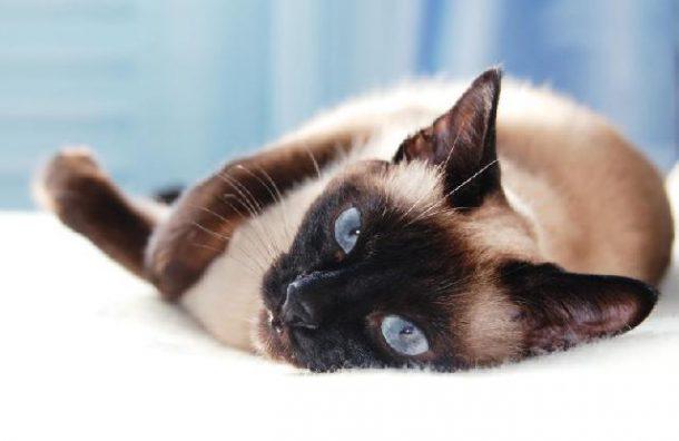 Gato Siamês Características
