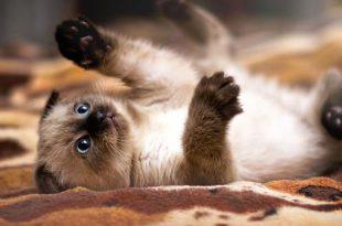 Gato Siamês Curiosidades