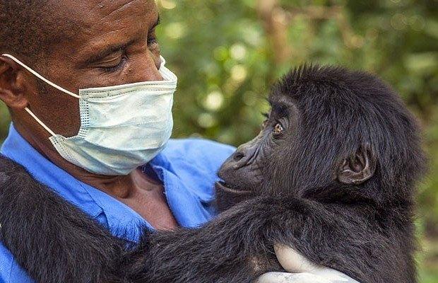Primatas Gorila
