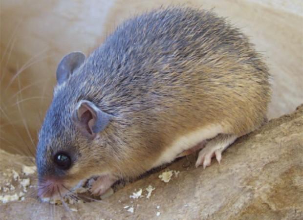 Espécies de Rato