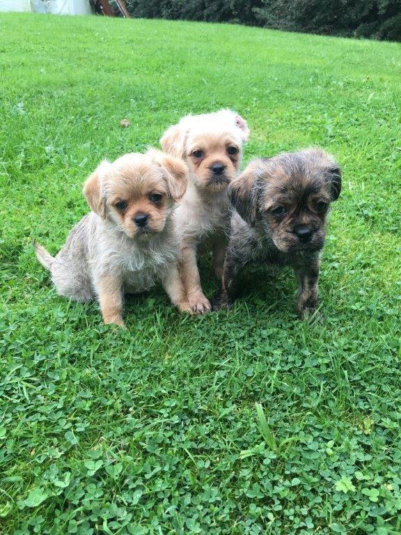 Filhotes Poodle Pug
