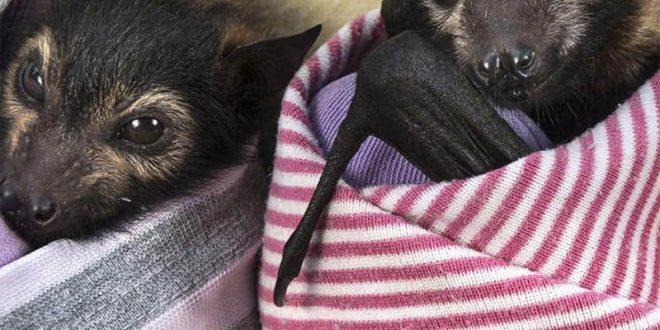 Como Nascem Os Morcegos? Reprodução Dos Morcegos E Filhotes