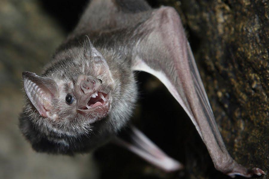 Morcego Comum