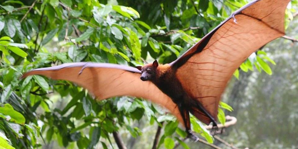 Morcego Raposa