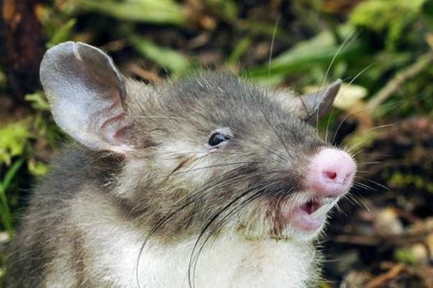 Nova Espécie de Rato