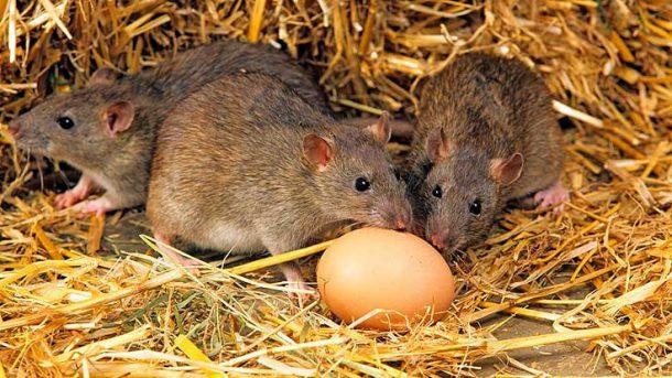 O Que Os Ratos Comem