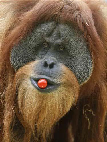 Orangotango Com Cereja na Boca