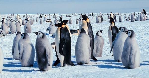 Pinguim Características