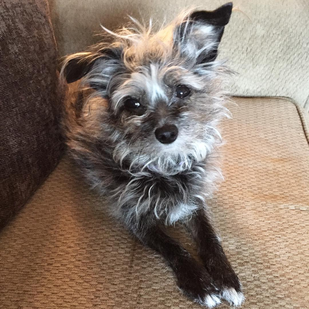 Poodle Chihuahua no Sofá