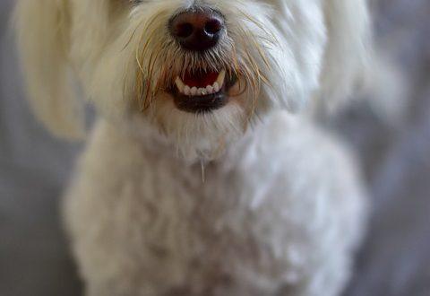 Poodle Maltês Características E Fotos