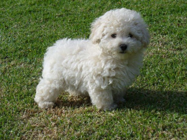 Poodle Pequeno
