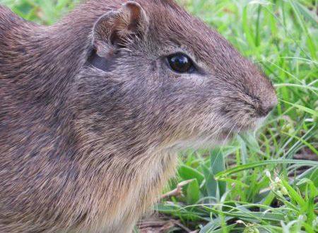 Rato Peria: Fotos E Características