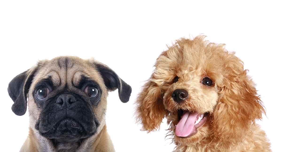 Pug e Poodle