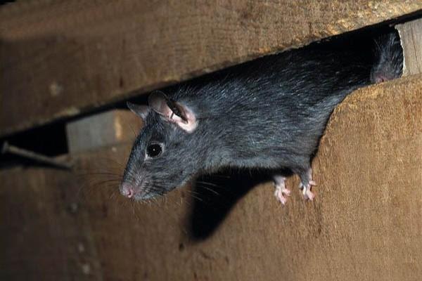 Rato Do Telhado Saindo do Forro